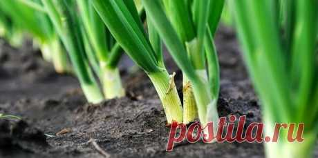 WE FERTILIZE ONIONS SAL AMMONIAC.\u000a\u000aNoticed that at onions turned pale and plumelets got a yellowish shade? It signals it to you that starves because of shortage of nitrogen. Help it, having fed up liquid ammonia solution.\u000a\u000aDilute 3 tablespoons of sal ammoniac in a 10-liter bucket of water and spill beds with onions in the evening (under a back). Such juicy solution not only will feed up, but also will frighten off an onions fly.