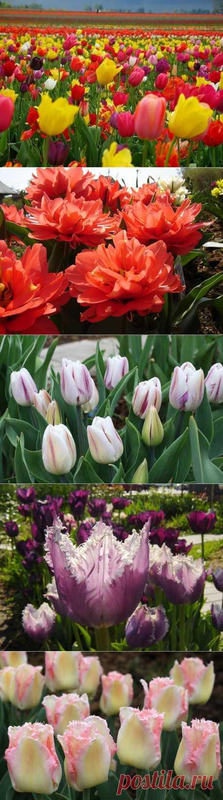Тюльпаны: посадка и выращивание в саду, сорта, борьба с вредителями и болезнями.