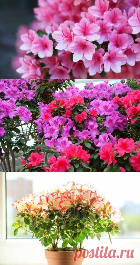 How to look after an azalea in house conditions after purchase?