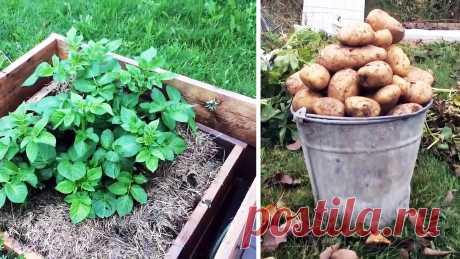 Как сажать картофель в ящики и собирать по ведру с куста Участки многих дачников не позволяют высаживать много картофеля в грядках традиционным способом. Чтобы собирать большие урожаи, занимая при этом минимум пространства, попробуйте этот метод выращивания. Он кропотлив, но урожайность с куста получается не менее ведра картофеля. Что