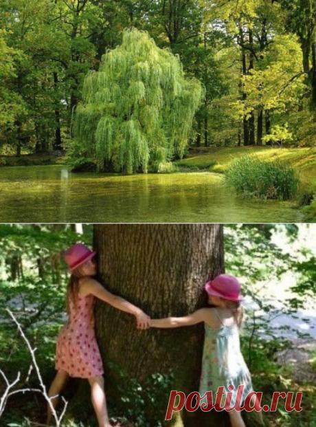 Деревья и их энергетика: зачем обнимать рябину, а желание загадывать у березы?