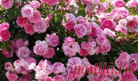 На заметку садоводам: Рецепт с водкой спасает сад от тли - Женский Журнал Водка большинством воспринимается как алкогольный напиток. Однако его стоит взять на заметку садоводам, особенно любителям выращивать розы. Несмотря на всю красоту этих цветов, они могут быть очень привередливы. Если куст начал подопревать, не торопитесь списывать его со счетов. Попробуйте использовать водку. Разведите 1 стакан алкогольного напитка в ведре воды и полейте этой смесью куст. Цветы …
