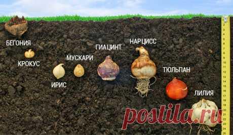 Ярусная посадка луковичных - Садоводка