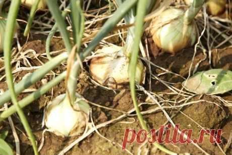 Как убирать лук, чтобы он долго хранился | Капуста, лук, чеснок (Огород.ru)
