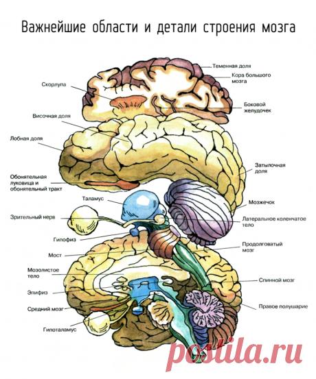 Важнейшие области и детали строения мозга