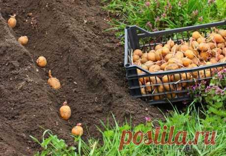 Картофель – посадка и уход в открытом грунте, уборка и хранение
