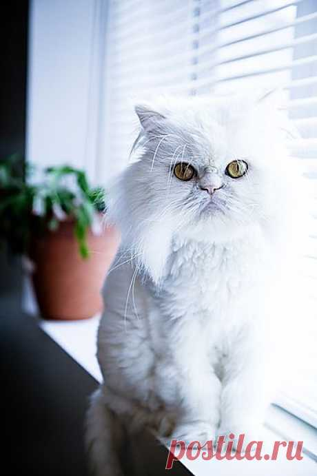 "The most popular cat breeds: Persian | articles of the heading ""House\"" 