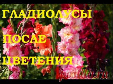 Care of gladioluses in the fall: preparation for winter, cutting, use of fertilizers for autumn top dressing, a photo, video