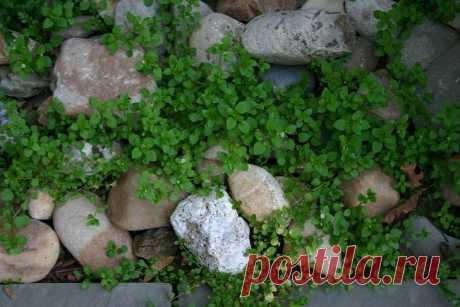 Трава мокрица - полезные свойства