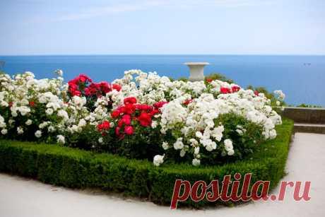 """Как подобрать """"соседей"""" для роз на клумбе - prosad.ru всё про сад и огород"""