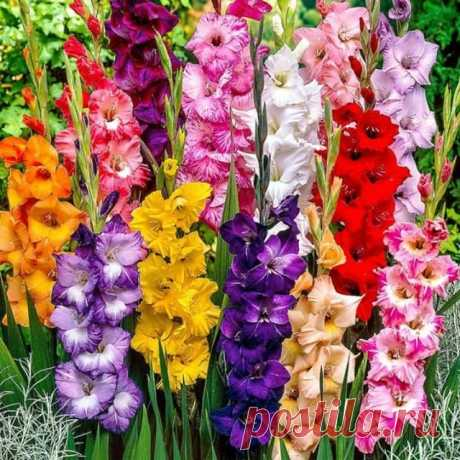 Гладиолусы. Выращивание Гладиолус. Хорошо растет в садах любой климатической зоны. Насладиться их красотой можно во второй половине лета и сентябре. Надо помнить, что эти цветы светолюбивы, и сажать их надо только на солнечных участках.