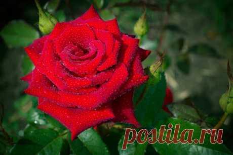 Роза чайно-гибридная Лавли ред - описание, агротехника | О розе Роза чайно-гибридная Лавли ред - прекрасный предствитель красных роз к бокаловидными ерупными бутонами. Может расти практически в любой почве и долго радовать своими насыщенно-красными махровыми бутонами на протяжении всего сезона.