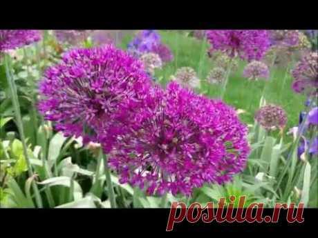 Декоративные луки в цветниках.