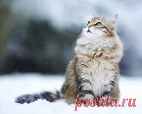 Сибирская кошка: история и описание породы, характер, где купить, фото, цена, питомники породы, характеристики и отзывы владельцев.