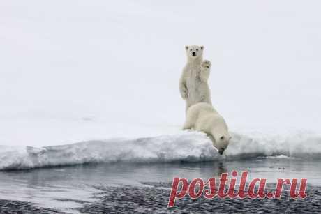 Поздравляем с Днем полярного медведя!