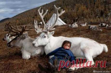 El reportaje fotográfico: como vive a los nómadas-criadores de ciervos — las Fotoobras maestras