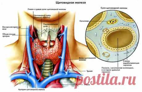 Влияние щитовидной железы на состояние организма.