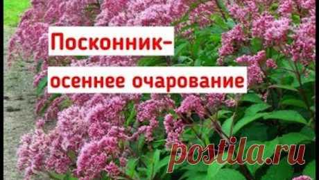 Посконник: посадка и уход, выращивание. Король осеннего сада: многолетний и неприхотливый