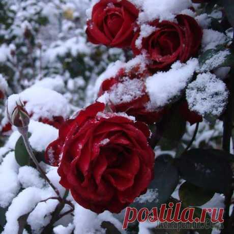 We prepare roses for winter – 13 useful tips for the beginning flower growers