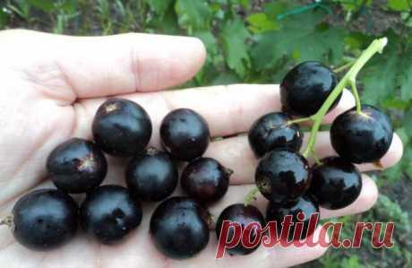 Какие самые урожайные сорта черной смородины?