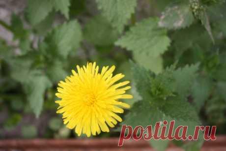 Одуванчики на даче: дельные советы по использованию сорняка Сайт про дачу - Садоводка