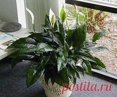 Растения для темных комнат  Очень часто многие цветоводы сталкиваются с такой ситуацией, когда в помещениях, где недостаточно света, некоторые растения болеют и погибают. Чтобы в очередной раз не разочаровываться, выбирайте для темных комнат растения, не требующие много света. В  огромном мире флоры достаточно много растений-тенелюбов, и все они по-своему привлекательны и красивы.     1. Спатифиллум великолепно чувствует себя в комнате, куда свет поникает в небольших количествах. Идеальными