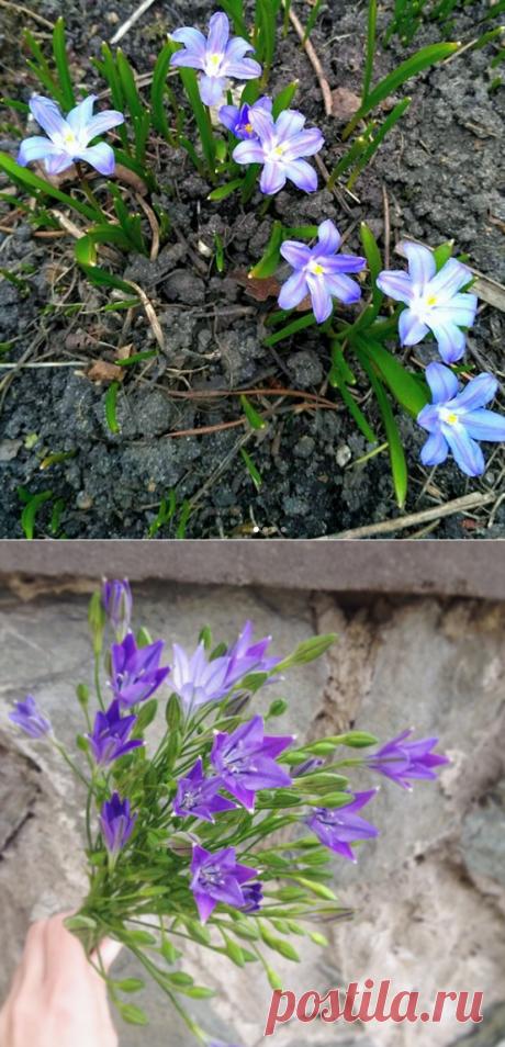 5 идей что посадить для весеннего цветения (не тюльпаны и не нарциссы) | посуДАЧИм об огороде | Яндекс Дзен