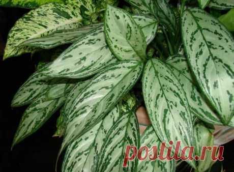 Тенелюбивые и неприхотливые комнатные растения: названия и фото