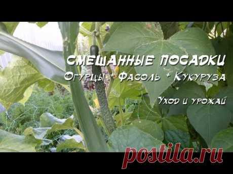Смешанные посадки 2016: Огурец + фасоль + кукуруза + лук + зелень - YouTube
