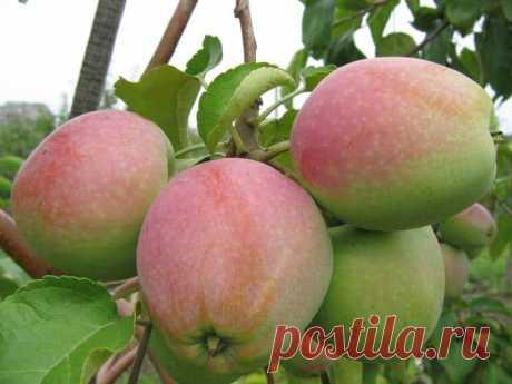 Яблоня «Синап»: описание сорта, фото