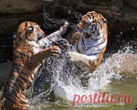 «тигры, вода, соперничество» — карточка пользователя Любовь З. в Яндекс.Коллекциях