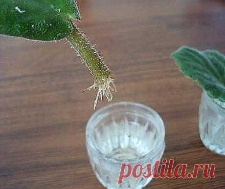 Частые ошибки при размножении фиалок листом