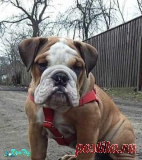 Мощный щенок Английского бульдока  купить в Минске на сайте объявлений