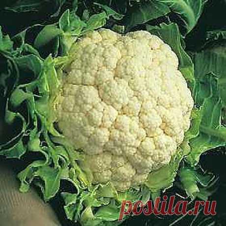 Особенности выращивания цветной капусты.