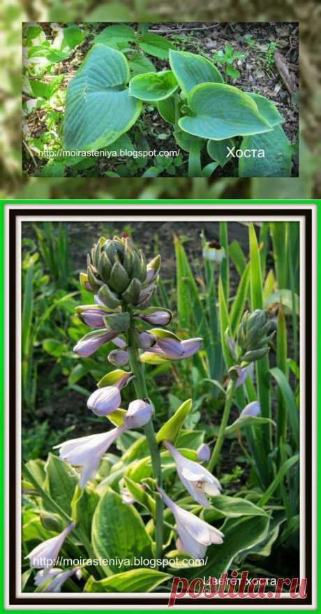 Цветы для дачи: Цветок хоста. О хостах и с подробностями. Часть 3