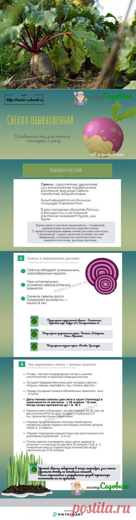 Как выращивать свеклу в открытом грунте из семян - схема и описание