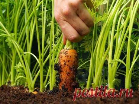 ЧТОБЫ СВЕКЛА И МОРКОВЬ БЫЛИ СЛАДКИМИ  Сохраните, чтобы не потерять!   Какими приемами можно повысить сахаристость свеклы и моркови? Нельзя под свеклу и морковь вносить органические удобрения, только под предшествующую культуру. Навоз, обеспечивая культуру повышенным количеством азота, придает им неприятный йодистый привкус. Корнеплоды вырастают корявыми, неестественно рыжего (морковь) или грязно-красного с белесыми прожилками (свекла) цвета. Корнеплоды обязательно долж...