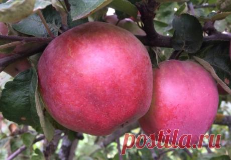 Уникальный сорт Яблок выдерживает морозы до -42˚С, масса яблок до 350 грамм, лежит до апреля. Вкусный. Сажать однозначно | Сад, огород, наука и ... лень | Яндекс Дзен