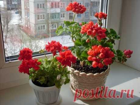 Секреты удобрения Герани йодом для пышного цветения | Все о цветоводстве | Яндекс Дзен