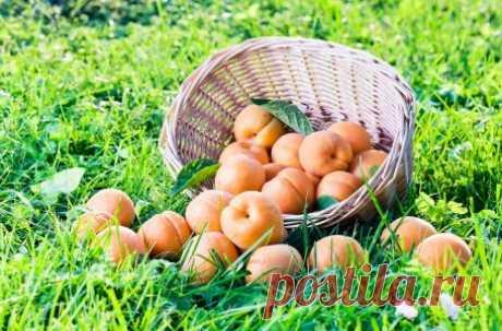 Выращивание абрикосов в средней полосе – как добиться хорошего урожая
