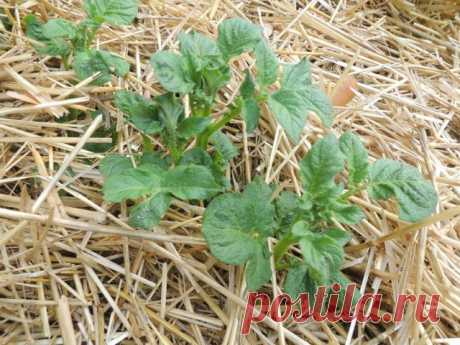 Картофель под соломой. Посадка, выращивание, фото — Ботаничка.ru