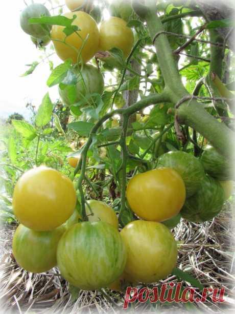 7 способов ускорить созревание томатов