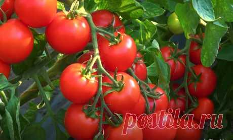 Немецкий агроном научил меня выращивать помидоры без химии так, что с 25 кустов мне хватает томатов и себе, и даже родственникам | Дача в деревне | Яндекс Дзен