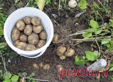 Как я восстанавливаю почву после картошки, чтобы на следующий год получить богатый урожай. Место посадки не меняю | Мой сад и огород | Яндекс Дзен