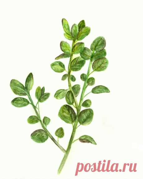 Oregano-Herb-Watercolor-Printable-sm-GraphicsFairy.jpg (2400×3000)