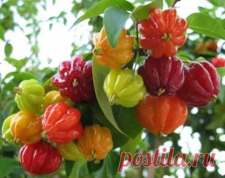 Суринамская вишня... Диво дивное!