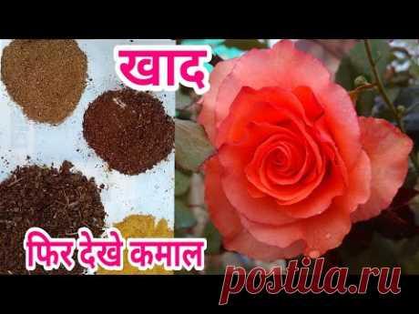 गुलाब मे कौन सा खाद देते हैं । Rose Best fertilizer