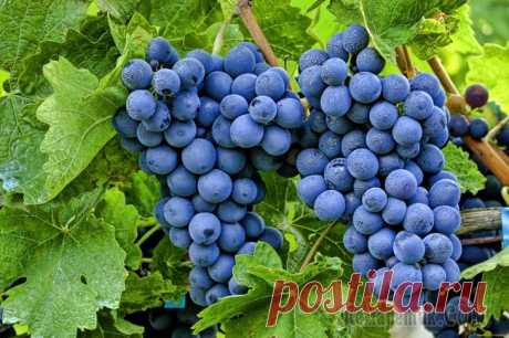 Календарь ухода за виноградом на каждый месяц