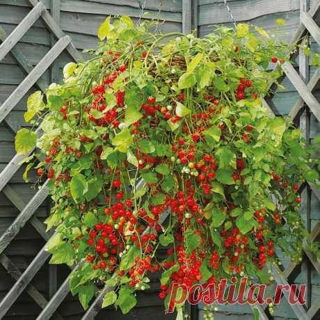 Выращивание ампельных помидор - Советы для садовода и огородника - Всё для сада и огорода - Каталог статей - Всё для жизни