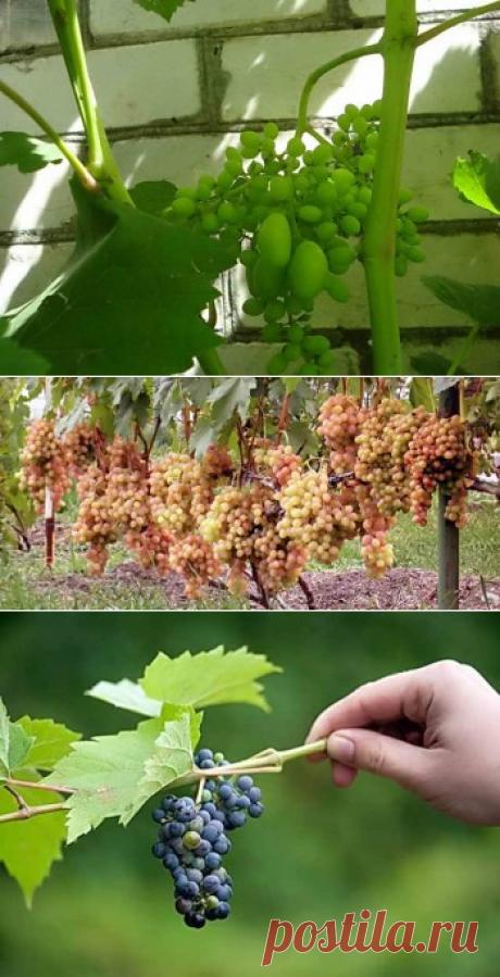 Горошение винограда — причина мелкой ягоды | Дача - впрок